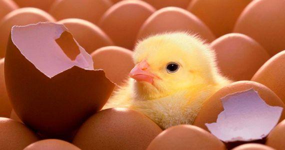 Картинки по запросу цыплята