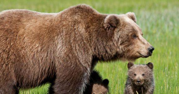 Сонник медведица к чему снится женщине