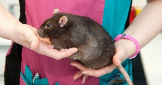 Крысы снятся к ссорам, так что старайтесь не обострять ни с кем отношения.